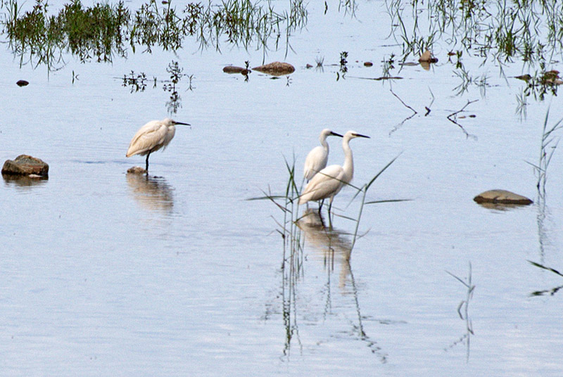 Little Egrets in stream-3