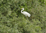 Title: Little egret on tree