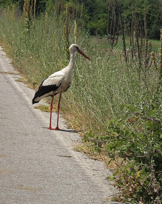 White stork by the road