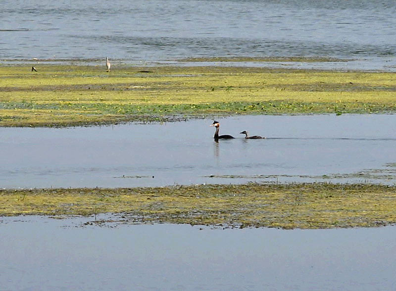 Great crested grebes in lake Kerkini