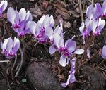 Title: Cyclamens