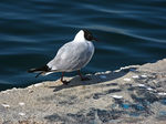 Title: black-headed gull