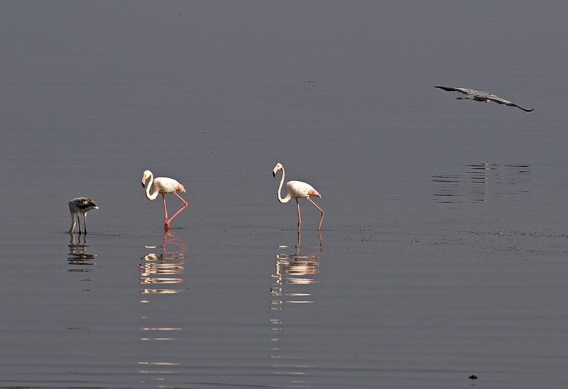 Flamingos and heron in lake Kerkini