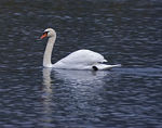 Title: Mute swan in Edessaios river
