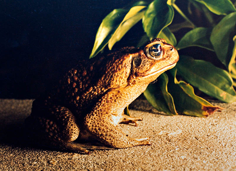 A Visiting Toad