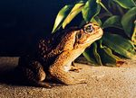 Title: A Visiting Toad