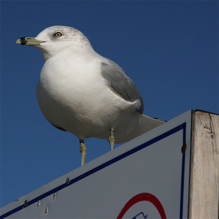Seagull on Sign