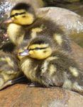 Title: Ducklings resting