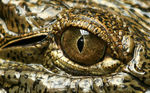 Title: Eye of the Alligator