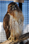 Title: Captive Red Tail Hawk