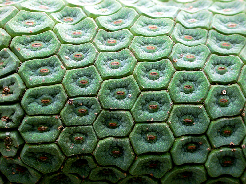 Hexagonality in the Monstera fruit 02