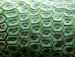 Title: Hexagonality in the Monstera fruit 02