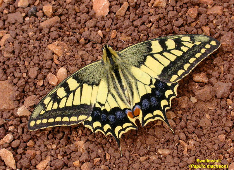 Machaon drying...swallow-tails