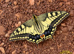Title: Machaon drying...swallow-tails