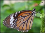 Title: Butterfly - Balancing Act