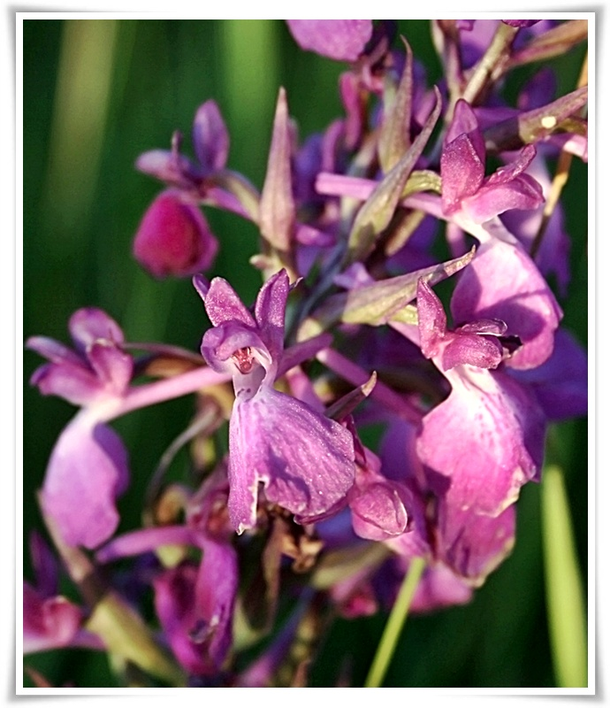 orchis-laxiflora