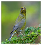 Title: European Greenfinch
