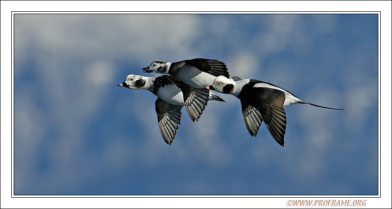 Long-tailed Duck Family