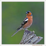 Title: Male Chaffinch Camera: Nikon D200 with MB-200