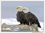 Title: Snowy Eagles