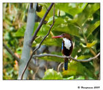 Title: White Throated Kingfisher