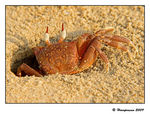 Title: Ghost Crab