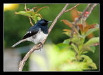 Title: Oriental Magpie Robin (Juv-2)
