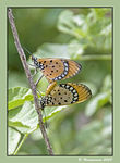 Title: Tawny  Coster (Mating)II