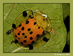 Title: Tortoise Beetle (for Sumon Da)