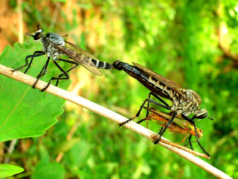 Dining while Mating