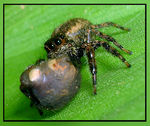 Title: Jumping Spider with ???