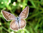 Title: Pale Grass Blue Wings opened