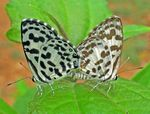 Title: Common Pierrot Mating