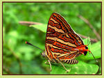 Title: Common Silverline Butterfly