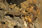 Title: Keeled rock gecko
