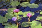 Title: Water Lilies