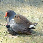 Title: Moorhen with Chicks