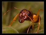 Title: Camponotus brullei