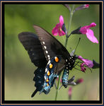Title: Pipevine Swallowtail