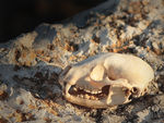 Title: Fox Skull...Maybe?Canon 5D