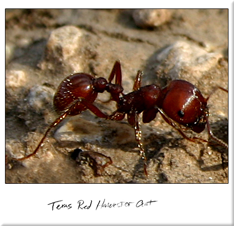 Texas Red Harvester Ant