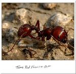 Title: Texas Red Harvester Ant