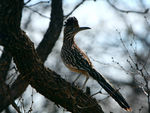 Title: Greater Roadrunner