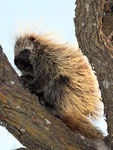 Title: North American Porcupine