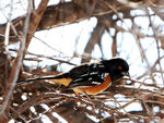 Title: Spotted Towhee