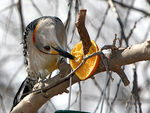 Title: Golden Fronted Woodpecker