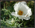 Title: Prickly Poppy