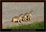 Title: Spotted Ground Squirrel