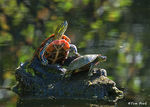 Title: The Painted Turtle