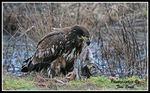 Title: Eagle having Lunch